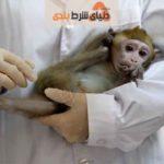 ساخت نمونه آزمایشی واکسن کرونا در آمریکا، و موفقیت آمیز بودن تاثیر آن روی میمون های